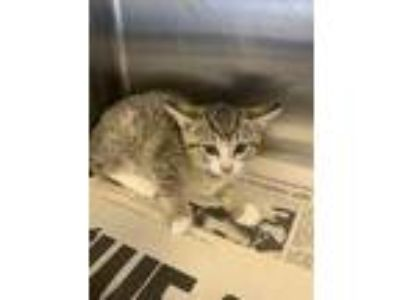 Adopt Pantsuit a Gray or Blue Domestic Shorthair / Domestic Shorthair / Mixed