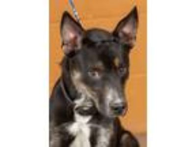 Adopt LJ a German Shepherd Dog, Australian Cattle Dog / Blue Heeler