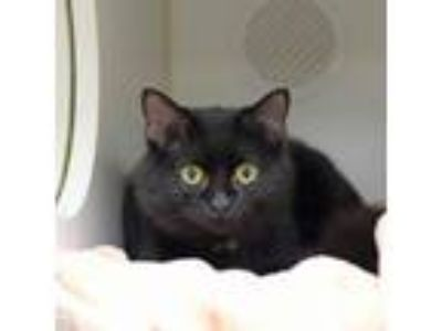 Adopt Tango a Domestic Medium Hair, Domestic Short Hair