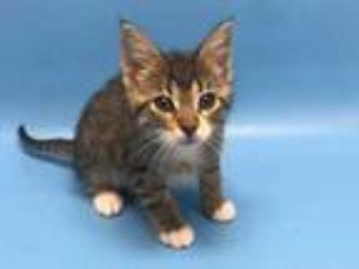 Adopt Josie a Brown or Chocolate Domestic Shorthair / Mixed cat in Golden