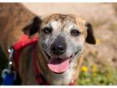 Adopt Diana a Brindle Dachshund / Mixed dog in Phoenix, AZ (17085066)