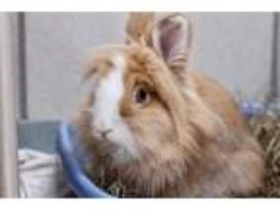 Adopt MILLIE a Tan Lionhead / Mixed rabbit in Boston, MA (25932405)
