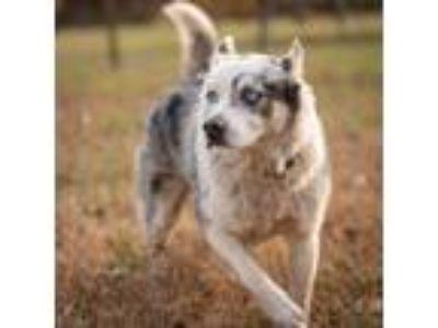 Adopt Cobalt a Gray/Blue/Silver/Salt & Pepper Australian Shepherd / Mixed dog in
