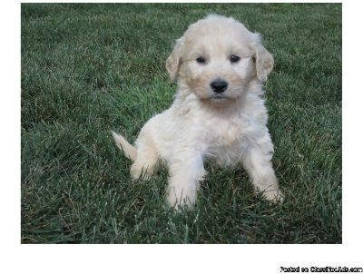 .two goldendoodle puppies