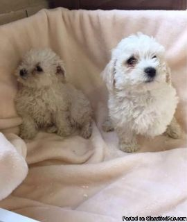 Bichon frise puppies boy and girl