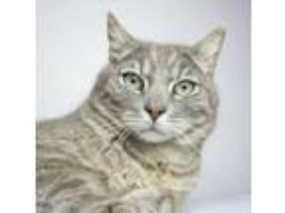 Adopt Ringo a Gray or Blue Domestic Shorthair / Domestic Shorthair / Mixed cat