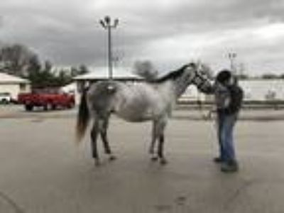 Nice young grey Thoroughbred mare