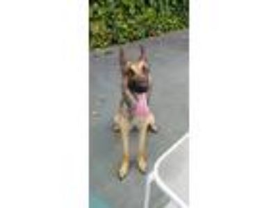 Adopt Sia a Brown/Chocolate - with Black Belgian Malinois / Mixed dog in San