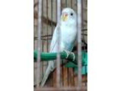 Adopt Bianca a Budgie bird in North Branch, NJ (25748888)