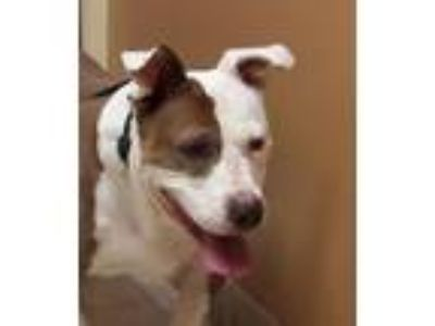 Adopt Dodson a Pit Bull Terrier, Mixed Breed