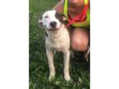 Adopt Gus Hootiecackle a Brindle American Pit Bull Terrier / Mixed dog in
