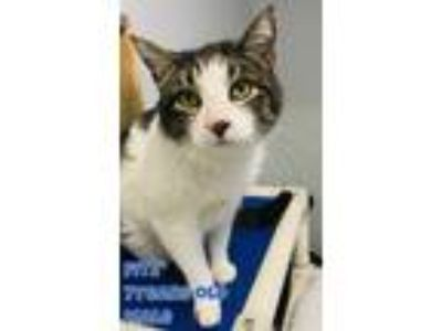 Adopt Fitz a Domestic Short Hair