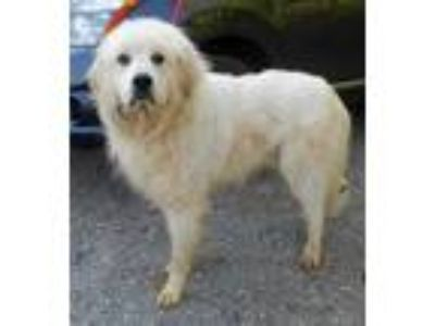 Adopt Waylon 5-18-19 a White Great Pyrenees / Mixed dog in Dickson