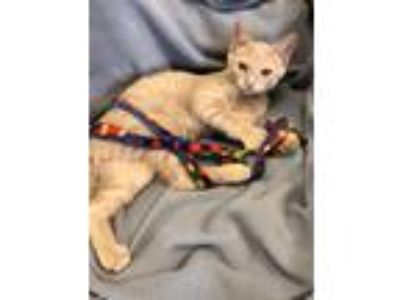 Adopt Spencer a Orange or Red Tabby Domestic Shorthair (short coat) cat in Fox