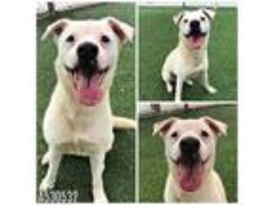 Adopt SCOUT a White - with Brown or Chocolate Jack Russell Terrier / Mixed dog