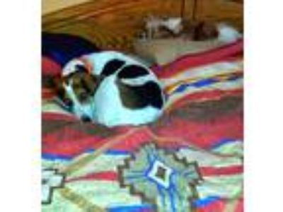 Adopt Katie a White - with Brown or Chocolate Hound (Unknown Type) / Cavalier