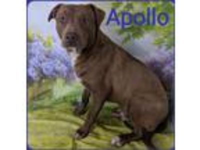 Adopt Apollo a Brown/Chocolate - with White Pit Bull Terrier / Mixed Breed