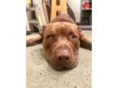 Adopt Bear a Red/Golden/Orange/Chestnut - with White American Pit Bull Terrier /