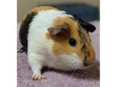 Adopt Diamond a Guinea Pig small animal in Oceanside, CA (25708048)