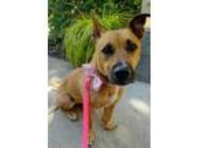 Adopt Phoebe a Tan/Yellow/Fawn Corgi / Shepherd (Unknown Type) / Mixed dog in