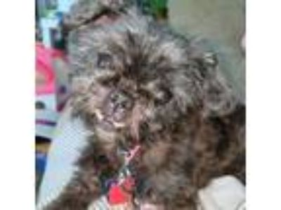Adopt Woobie -Foster Needed 5/10 a Shih Tzu, Poodle