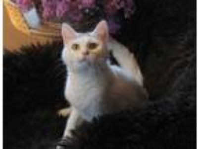 Adopt Helga a White (Mostly) Domestic Shorthair / Mixed (short coat) cat in