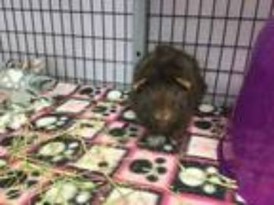 Adopt COOKIE a Brown or Chocolate Guinea Pig / Guinea Pig / Mixed small animal