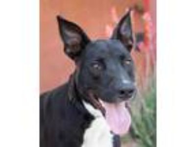 Adopt Onyx a Black Labrador Retriever / Mixed dog in Palm Springs, CA (25476549)