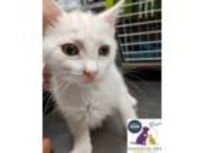 Adopt Feather a Domestic Short Hair