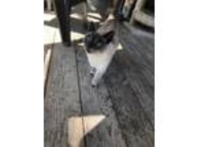 Adopt Lucy a Siamese