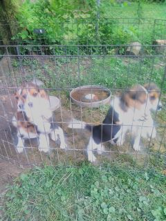 8 week old beagle pups for sale