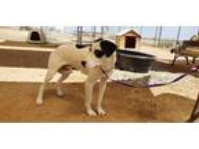 Adopt Butch a Black - with White Pointer / Greyhound / Mixed dog in California