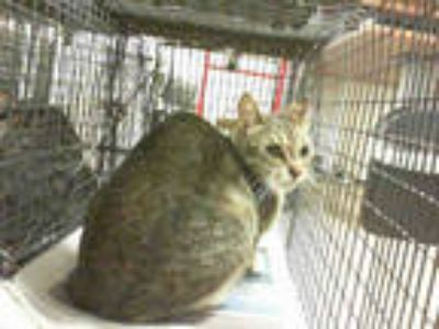 Adopt MOLLIE a Brown Tabby Domestic Shorthair / Mixed (short coat) cat in Doral