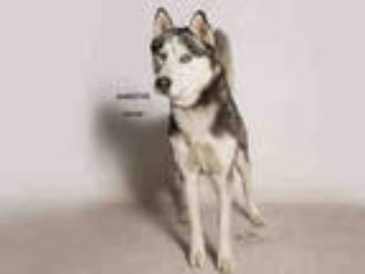 Adopt KOBE a Black - with White Husky / Mixed dog in Moreno Valley
