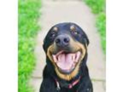Adopt Ruger a Black - with Tan, Yellow or Fawn Rottweiler / Mixed dog in Monett