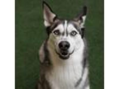 Adopt Melon a Black - with White Siberian Husky / Mixed dog in Burlingame