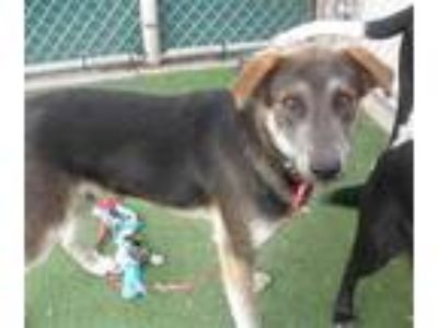 Adopt a Brown/Chocolate German Shepherd Dog / Mixed dog in San Luis Obispo
