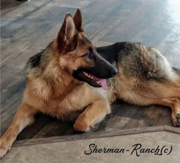 German Shepherd puppies 4 California