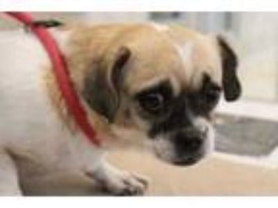 Adopt Bandit a Tan/Yellow/Fawn Rat Terrier / Mixed dog in Farmers Branch