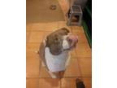 Adopt Chunks a Brown/Chocolate - with White Labrador Retriever / Bull Terrier /