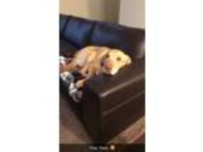 Adopt Leonidas Prancer a Tan/Yellow/Fawn Labrador Retriever / Mixed dog in