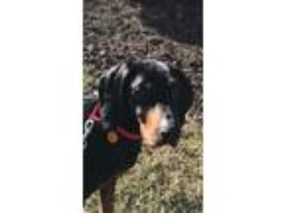 Adopt Banjo (Amazing Boy) a Black and Tan Coonhound