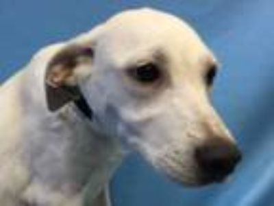 Adopt Patty a White Shepherd (Unknown Type) / Mixed dog in Golden Valley