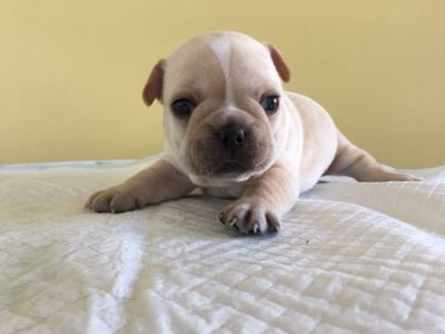 French Bulldog PUPPY FOR SALE ADN-93454 - AKC Frenchie Pups