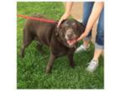Adopt JAX a Chocolate Labrador Retriever