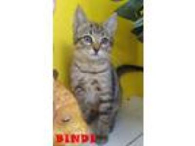 Adopt BINDI a Domestic Short Hair