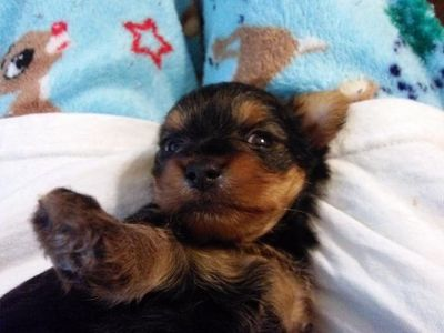 Yorkshire Terrier Female Puppy