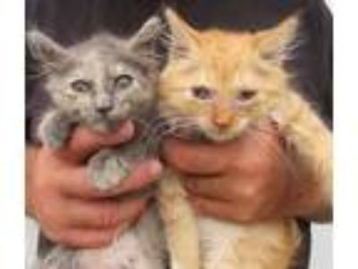 Adopt Charm and Chet a Maine Coon, Domestic Long Hair