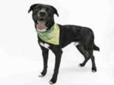 Adopt OASIS a Black - with White American Pit Bull Terrier / Mixed dog in