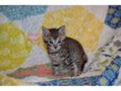 Adopt Pinky a Brown Tabby Domestic Shorthair (short coat) cat in Toms River